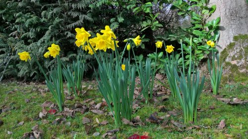 daffodils2017